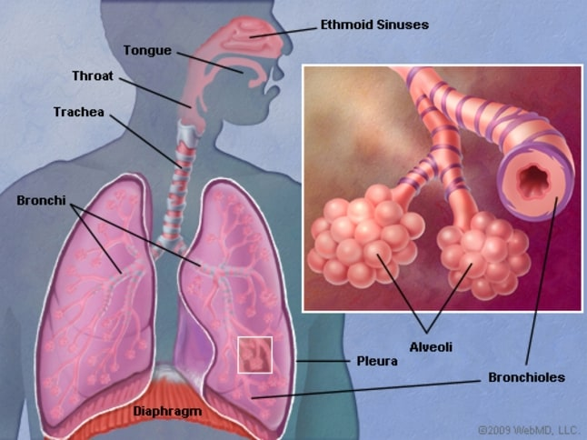 Lungs Infested by Coronairus