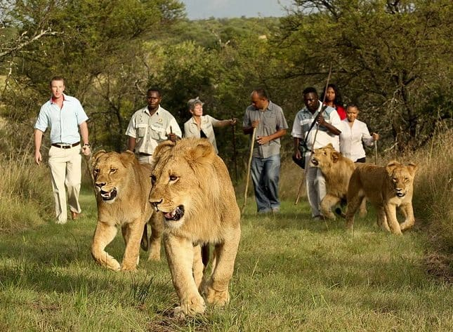 The Lockdown in South Africa doesnt seem to have affected Lions