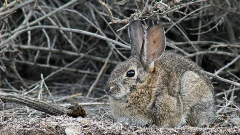 Highly Contagious and Deadly Virus is Killing Rabbits Population in California